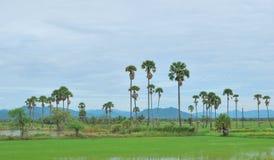 Den ricefältet och palmträdet Arkivfoton