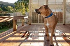 Den Ridgeback hunden står på däck och ser in i avståndet Arkivfoto