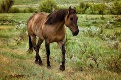 Den Roan hästen betar in Arkivbilder