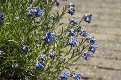 Den rockplant Moltkia för blå blomning petraeaen Arkivfoton