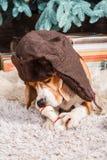Den roliga beaglehunden i brun pälshatt med öraklaffar ligger på matta, innehav och att äta för päls det konstgjorda benet nära t royaltyfri bild