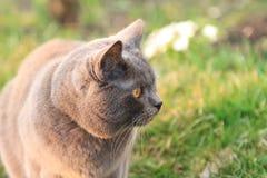 Den roliga brittiska katten med stora guld- ögon går i trädgården Royaltyfri Bild