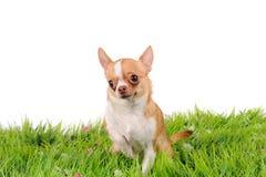 Den roliga chihuahuaen förföljer Royaltyfria Foton