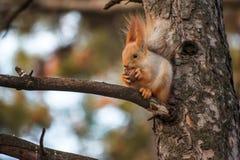 Den roliga ekorren satt på trädet med muttern och att äta Arkivbilder