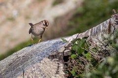 Den roliga fågeln går på trädstammen Royaltyfria Foton