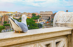 Den roliga fiskmåsen sitter på en balustrad av altaret av fäderneslandet på (den suddiga) bakgrunden av den stora Roman Colosseum Fotografering för Bildbyråer