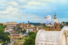 Den roliga fiskmåsen sitter på en balustrad av altaret av fäderneslandet på (den suddiga) bakgrunden av Roman Colosseum Royaltyfri Bild