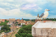 Den roliga fiskmåsen sitter på en balustrad av altaret av fäderneslandet på (den suddiga) bakgrunden av Roman Colosseum, Royaltyfria Bilder