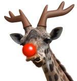 Den roliga giraffframsidan klädde som Santa Claus ' den röda nosed renen för jul Arkivfoto