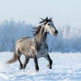 Den roliga gråa hästen sätter ut tungan Fotografering för Bildbyråer