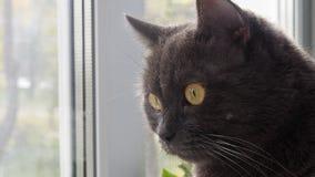 Den roliga gråa katten sitter på fönstret arkivfilmer