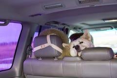 Den roliga gulliga hundAkita Inu aveln sitter löjligt i läderbaksätet av bilen i natur under regnet arkivbilder