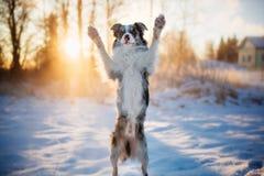 Den roliga hundaveln Border collie står på dess bakre ben i vinter royaltyfria foton