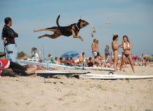 Den roliga hunden hoppar Royaltyfri Fotografi