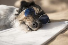 Den roliga hunden med blåa exponeringsglas sjunger en sång royaltyfria foton