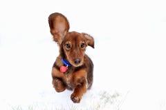 Den roliga hundtaxen hoppar upp Royaltyfri Fotografi