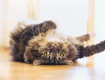 Den roliga katten ligger kopplade av på hans baksida och att se skämtsam in i kameran Arkivbild