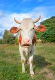 Den roliga kon med stort tystar ned stirrig raksträcka in i kamera och ätagräs djurlantgårdliggande sommar för många sheeeps Royaltyfri Fotografi
