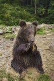 Den roliga lilla björnen äter Royaltyfria Foton