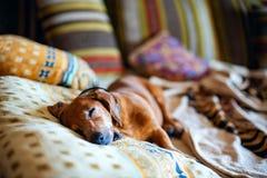 Den roliga lilla hunden, taxen sover sött på soffan Royaltyfri Fotografi