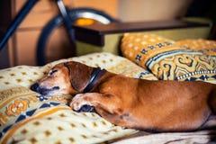 Den roliga lilla hunden, taxen sover sött på soffan Arkivbilder