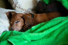 Den roliga lilla hunden, taxen sover sött på soffan Royaltyfria Bilder