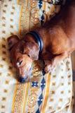 Den roliga lilla hunden, taxen sover sött på soffan Arkivfoton