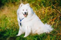 Den roliga lyckliga älskvärda älsklings- vita Samoyedhunden som är utomhus- i sommar, parkerar Fotografering för Bildbyråer