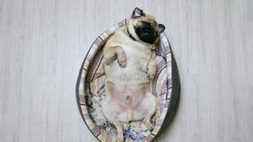 Den roliga mopshunden ligger i hundsäng på hans baksida, mycket trött och fett stock video
