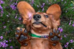 Den roliga näsan och tafsar ståenden av ligga för hund som är uppochnervänt i ljungblommor fotografering för bildbyråer