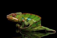 Den roliga panterkameleonten, reptil rymmer på hans svans, isolerad svart royaltyfri fotografi
