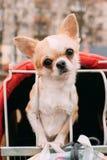 Den roliga röda och vita mycket lilla Chihuahuahunden ser ut ur bur Royaltyfria Bilder