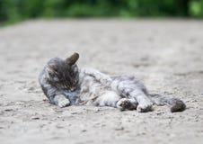 Den roliga randiga katten ligger och tvättar hennes hår i gården i suen Arkivfoto