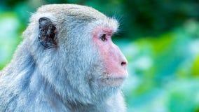 Den roliga roliga apan för apor A bor i en naturlig skog av Taiwan Royaltyfri Fotografi