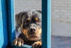 Den roliga rottweilerhunden ser in i fönster retro stående Arkivfoton
