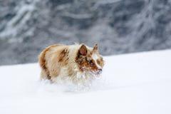 Den roliga seende australiensiska herden under körning på snow sätter in Arkivfoton
