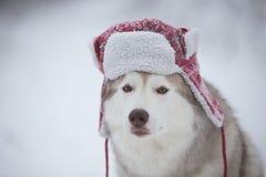 Den roliga skrovliga hunden är i röd varm hatt Närbildståenden av gulligt skrovligt för hundavelsiberian är på den insnöade vinte royaltyfri bild