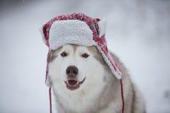Den roliga skrovliga hunden är i röd varm hatt Närbildståenden av lyckligt skrovligt för hundavelsiberian är på den insnöade vint royaltyfri bild