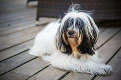 Den roliga tibetana Terrier hunden ligger i borggården royaltyfri foto