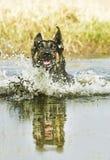 Den roliga tyska herden simmar i sjön arkivfoton