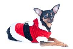 Den roliga valpen, hunden som är mer toyterrier i jultomten, kostymerar, isolerat på whi Royaltyfri Bild