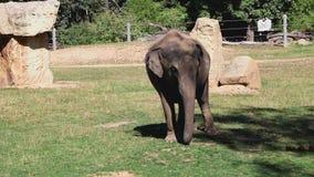 Den roliga videoen med dacing som behandla som ett barn elefanten lager videofilmer