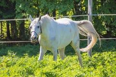 Den roliga vita Hanoverian hästen som vinkar hans svans i tygeln eller snafflen på beta eller grässlätten med den gröna bakgrunde arkivbilder