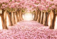 Den romantiska tunnelen av rosa färgblommaträd arkivfoton
