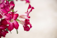 Den rosa Adeniumsen och bladet Arkivfoton