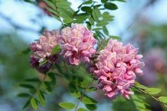 Den rosa akacian blommar closeupen Arkivbilder