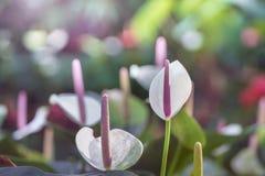 Den rosa anthuriumblomman som blommar i trädgården med gräsplan, lämnar a royaltyfri foto