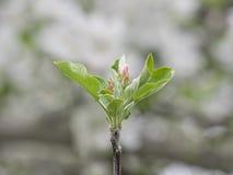 Den rosa Apple blomningen slår ut i vår mot mjuk vit bakgrund Royaltyfri Bild