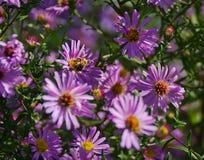 Den rosa asternedgången blommar tätt upp Arkivfoton