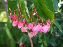 Den rosa begonian p? Sydney Royal botaniska tr?dg?rdar marscherar, 2019 royaltyfri foto